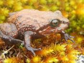 Descubren nueva especie rana Perú llaman Attenborough