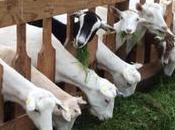 Leche continuación hecha base leche cabra: Capricare