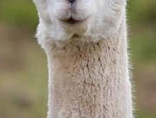 alpacas pelazo serían envidia mismísima Beyoncé
