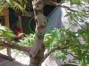 Acer Palmatum injerto