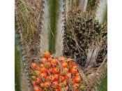 Aceite palma peligro letal para salud totalmente LEGAL