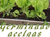 Germinar cultivar acelgas