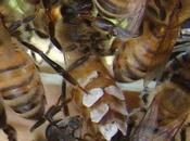 Glándulas abejas produciendo escamas cera Glands bees produce flakes.