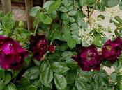 Combinar rosales Rosa 'Night Owl' Hydrangea anomala subsp. Petiolaris