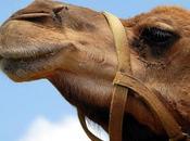 excremento camello curaba disentería