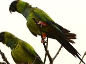 Ñanday (Nanday Parakeet) Aratinga nenday