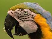 Guacamayo azul amarillo (Blue-and-yellow Macaw) ararauna