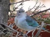 PORTFOLIO: Thraupis sayaca... Sayubu azul (Thraupidae)