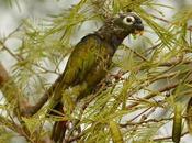Loro maitaca (Scaly-headed parrot) Pionus maximiliani
