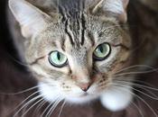 Tratamiento Para Conjuntivitis Gatos, Como Cuidar Minino