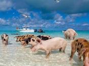 isla cerdos nadadores, Exuma, Bahamas
