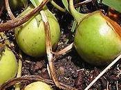 Planta Mandrágora usos historia