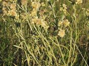 Marcelita (Gnaphalium gaudichaudianum)