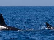 Orcas estrecho (II): escuadrón atún rojo