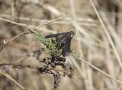 Canariellum brunnipenne