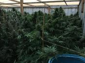 Detienen cubanos Colorado cultivar marihuana ilegalmente