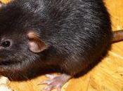 peligro para nuestra salud, ratas.