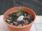 Cedro cascada semilla pre-bonsái