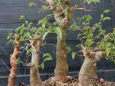 Intercambio bonsais Olivo -Tanuki