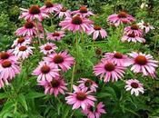Equinácea planta hermosa buena para salud