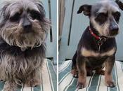 perros antes después cortes pelo.