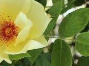 Plantación rosales ubicaciones problemáticas