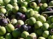 Mayor rendimiento pero menor aforo olivar
