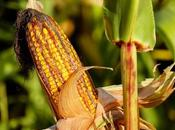 España, cabeza cultivo transgénicos