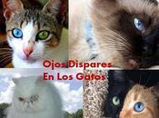 Tipos Heterocromía Ojos Gatos Causan Diferentes Colores