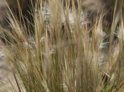 Coirón llama (Pappostipa humilis)