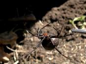 estudio revela arañas macho buscan reproducirse hembras jóvenes para canibalizados