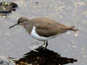 Andarrios chico-actitis hypoleucos-common sandpiper