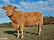 Vaca fuga llevada matadero como película acción