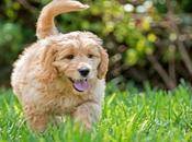 Goldendoodle Características cuidados