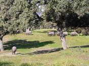 Híncale diente cerdo ibérico bellota 2018
