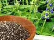 Salvia Hispanica (Chia)