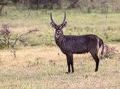 Waterbuck común antilope acuatico