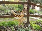 Plantación Acer palmatum 'Katsura' zona climática poco adecuada.