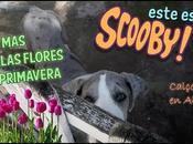 Scooby, cachorrito danès tierno mundo!!!