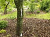Exudación espuma corteza árbol. Causas posibles.