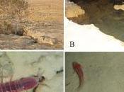 Nueva especie crustáceo cuevas Irán