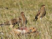 Chimangos comiendo cadáver liebre