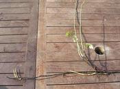 Rosales antiguos propias raíces