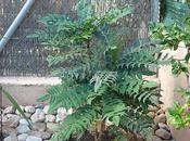 Mahonia invierno (Mahonia aquifolium)