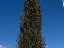 Ciprés común (Cupressus sempervirens