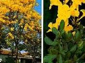 Brasil, Árbol Flor Nacional,