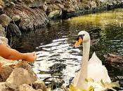 #MiércolesMudo 181: Cisnes