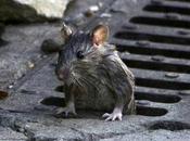 ¿Cómo protegernos ratas ratones?