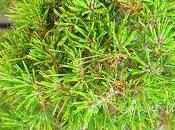 Pino Negro pinus Thunbergii