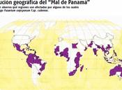 Panamá, ¿está riesgo plátano?